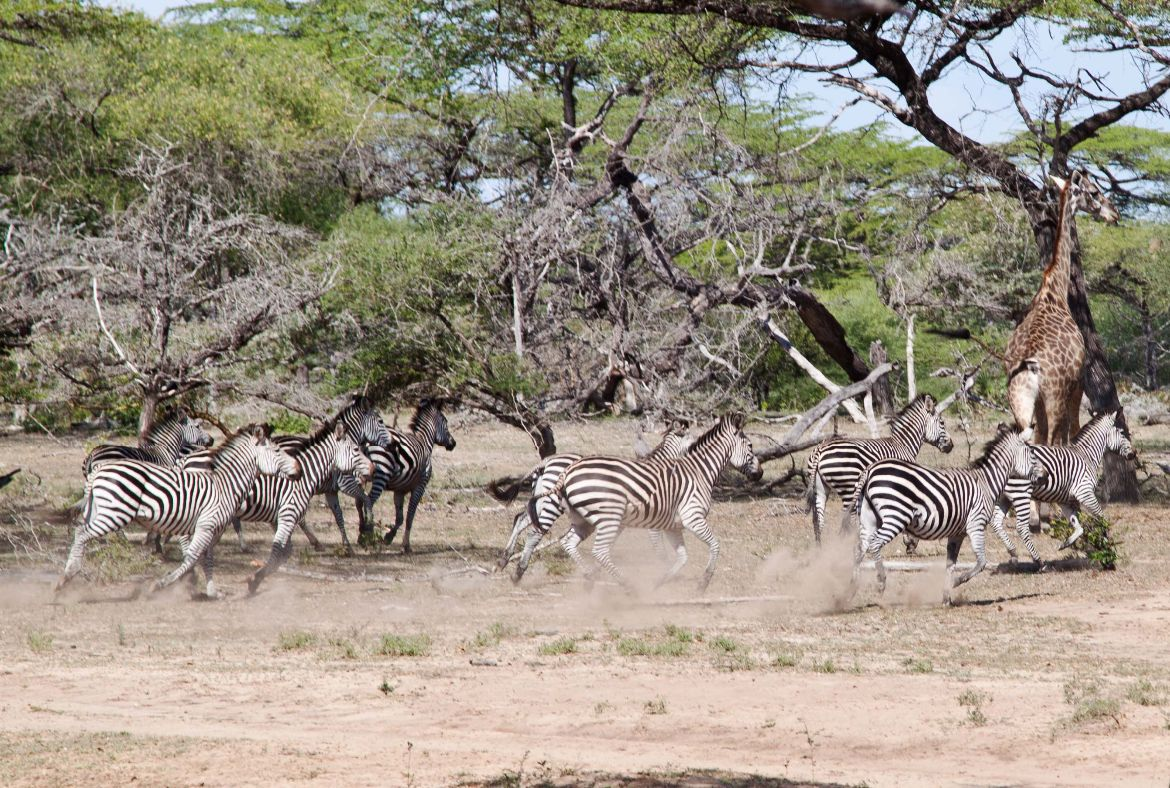 Running Zebras Selous Game Reserve