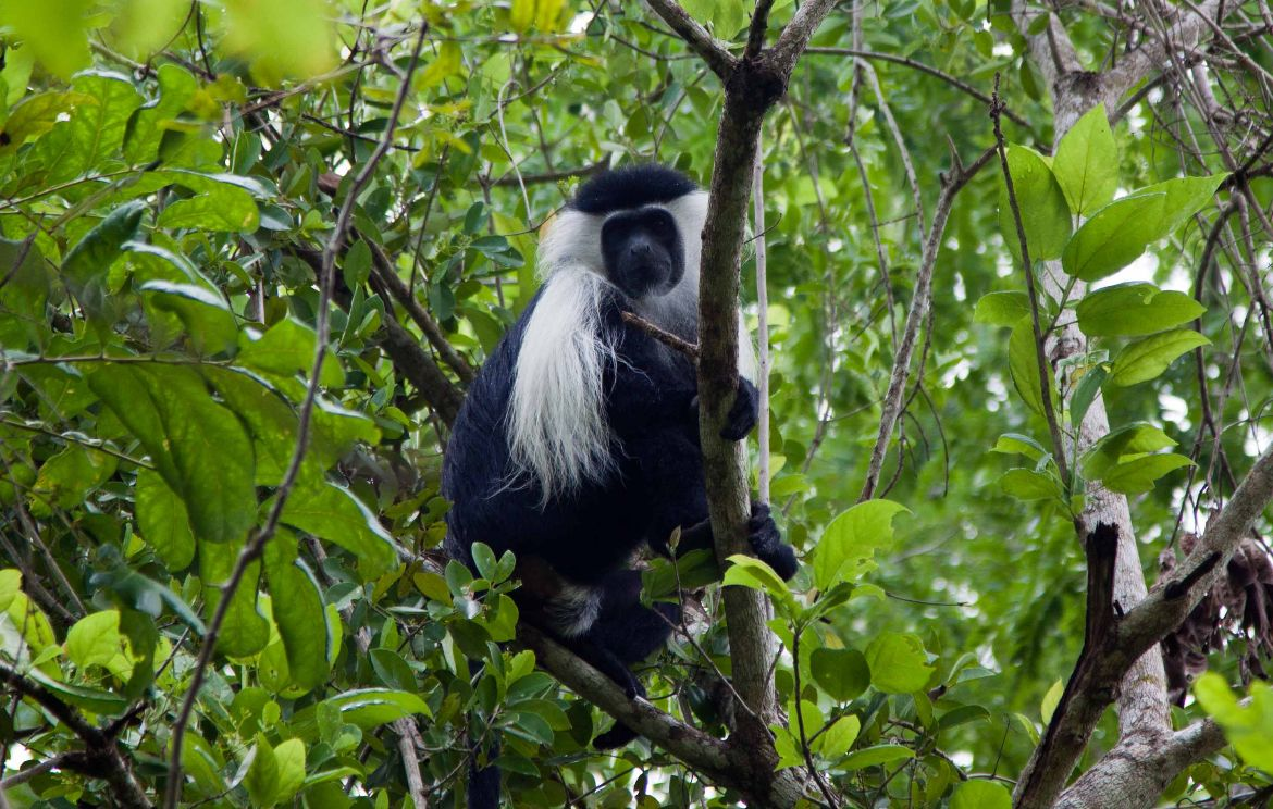 Black and White Colobus Jimbiza Lodge Selous