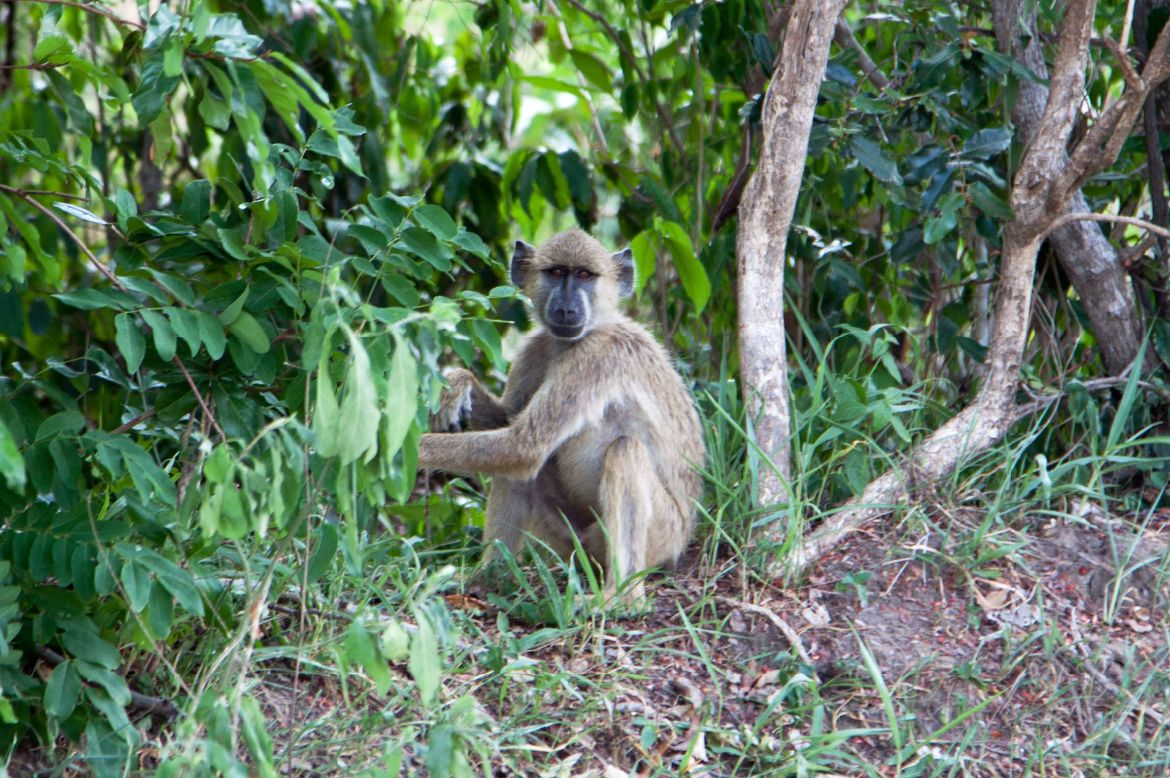 Monkey watching Selous Game Reserve