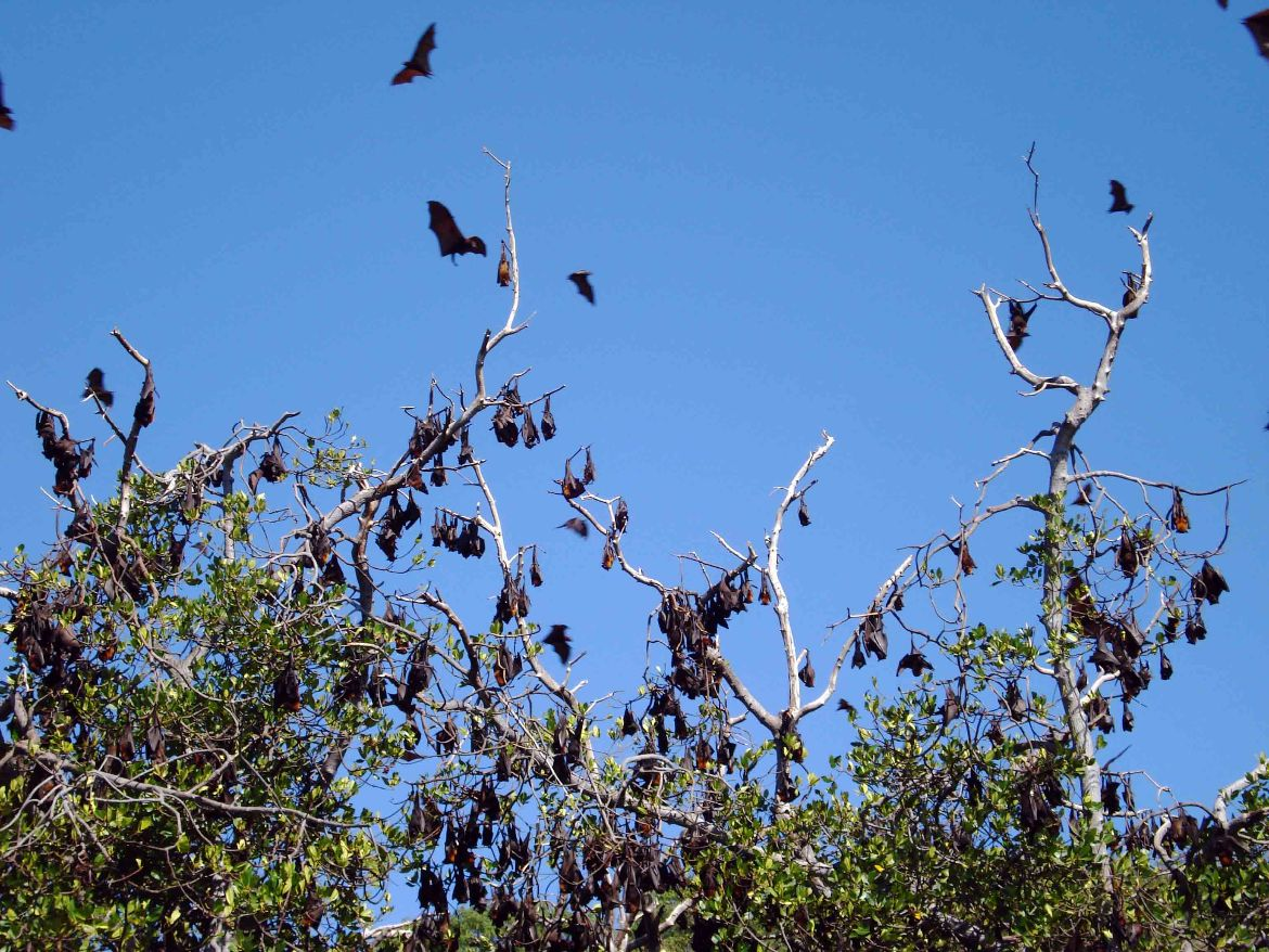 Flying Foxes Riung
